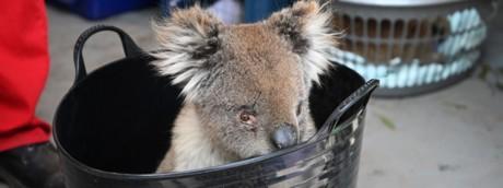 I koala scampati agli incendi in Australia, ora muoiono annegati