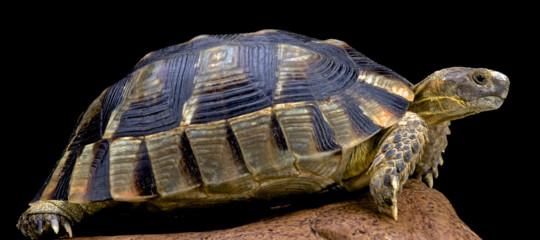 tartaruga superstite estinzione dinosauri