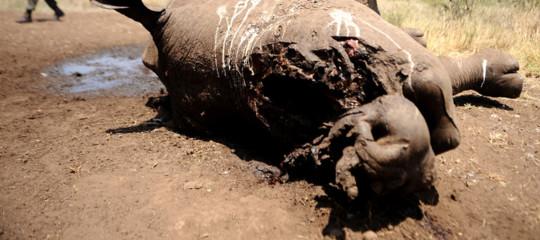 sudafrica rinoceronti uccisi poaching corno