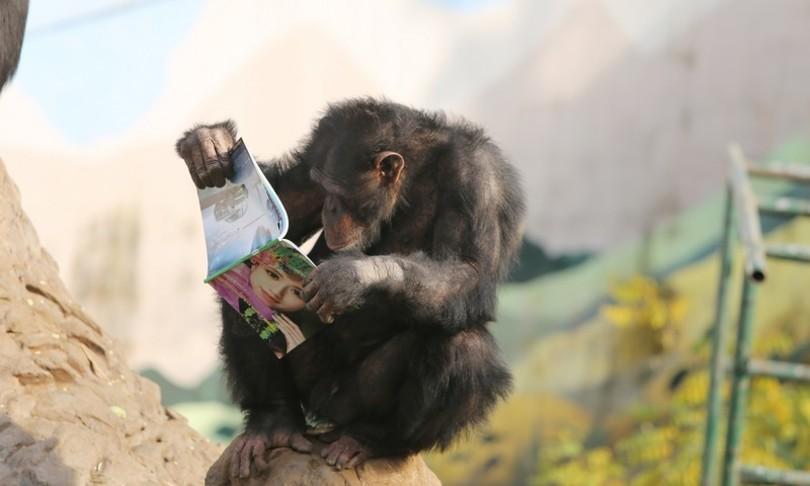 scoperto osso nel cuore degliscimpanze