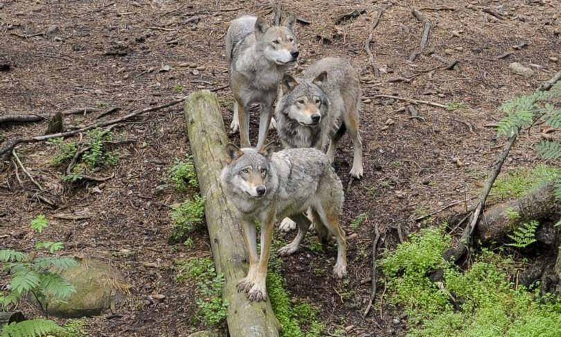 popolazione lupi dati italia otranto