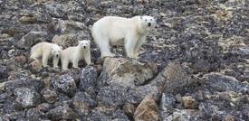 Gli orsi polari potrebbero estinguersi tra 80 anni