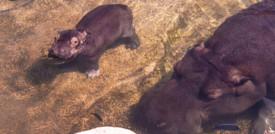 Il cucciolo di ippopotamo nato al Bioparcodi Torino