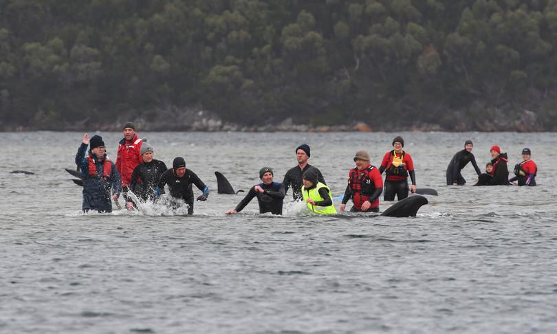 Spiaggiate 270 balene Australia 90 morte