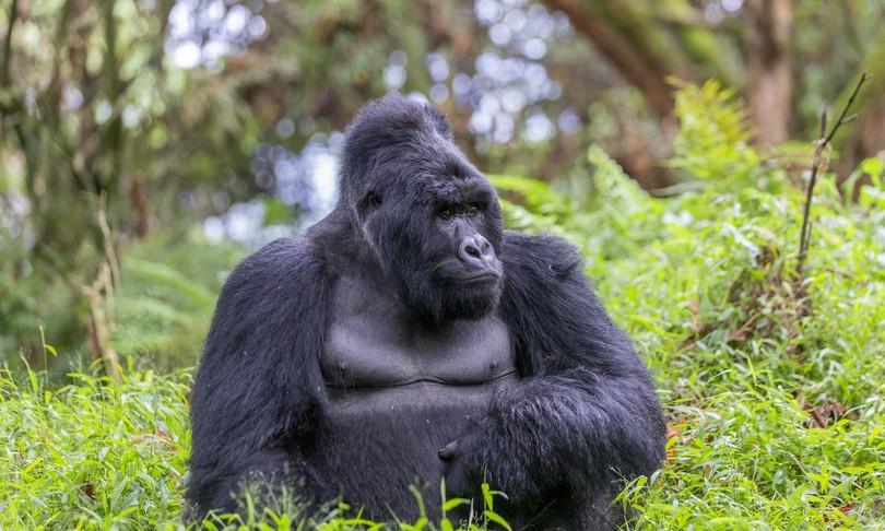 vaccino covid reitheravirus gorilla