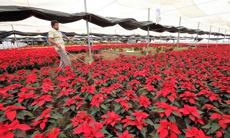Stelle Di Natale Immagini.Governo Salva Per Decreto 10 Milioni Di Stelle Di Natale
