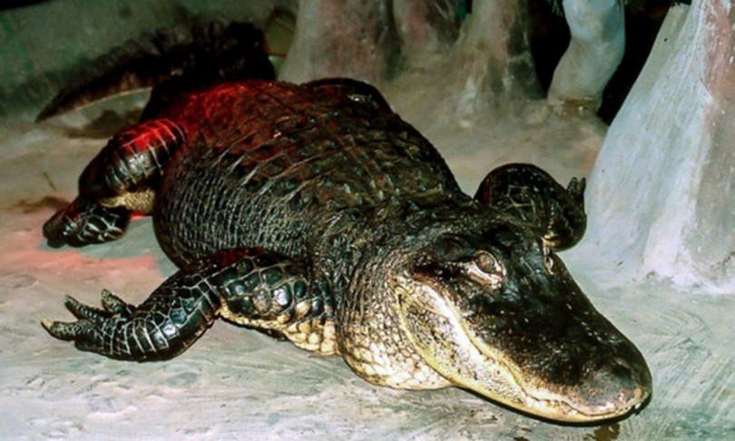 alligatore hitler morto imbalsamato russia