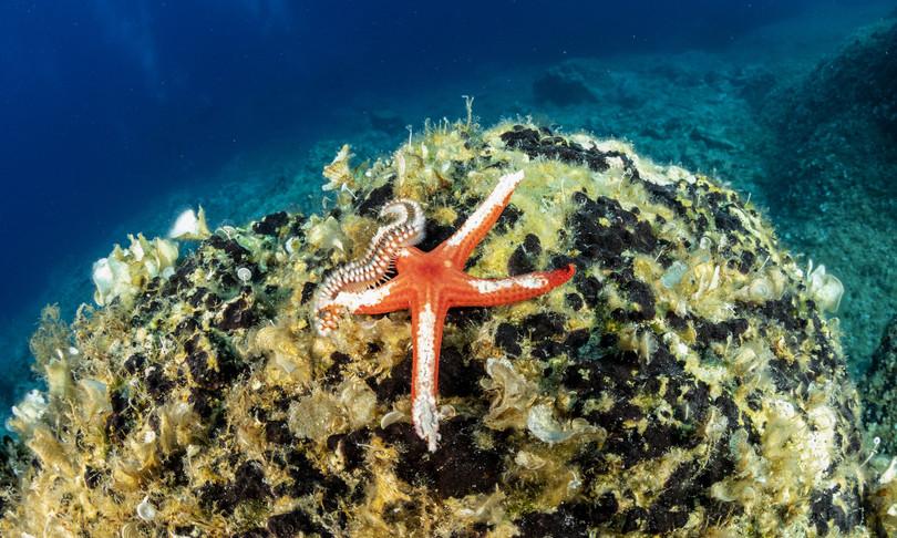 Le stelle marine rischiano di 'affogare'