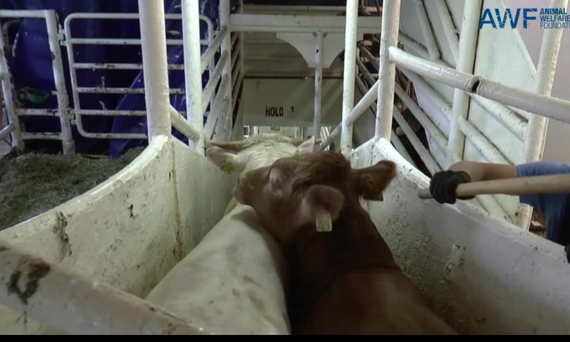 Una nave vaga da mesi nel Mediterraneo con 900 vitelli a bordo