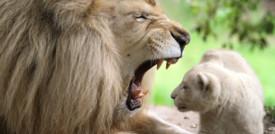 I leoni sbadigliano per comunicare