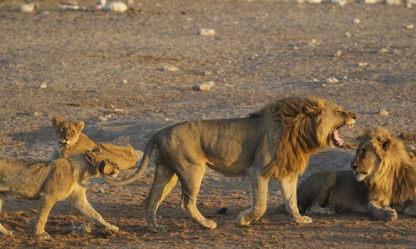 leoni sbadiglio contagioso modo comunicare