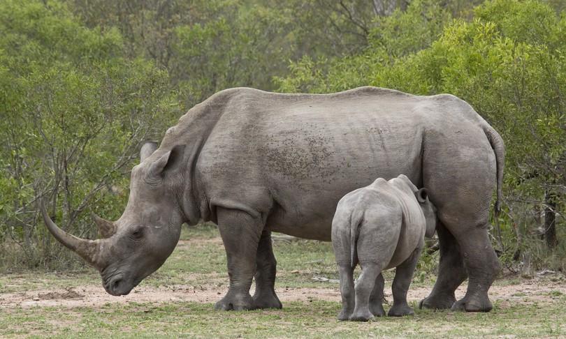 creati embrioni rinoceronte bianco