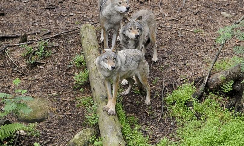 idahorischia strage lupi legge caccia