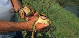 Scoperta nelle Filippine una nuova specie di rana con le zanne