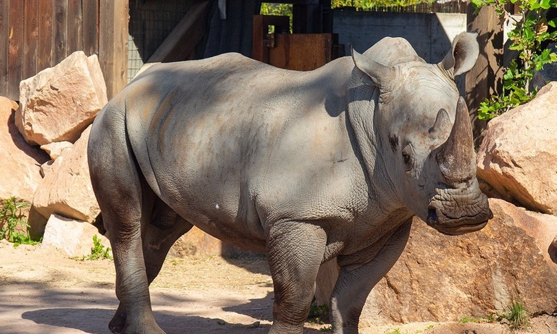 raro rinoceronte bianco casa torino