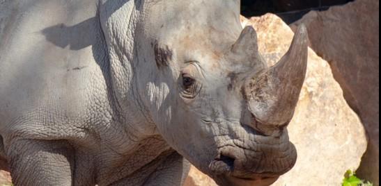 Un raro rinoceronte bianco ha trovato casa a Torino