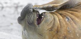 Dalle foche alle mucche, anche gli animali ridono