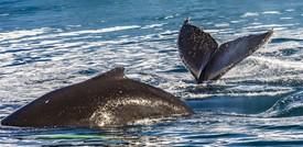 Due balene nuotano abbracciate, drone cattura le immagini