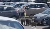 Le immagini mostrano il branco costituito da alcunefemminee numerosi piccoli che si muove tra le auto nel parcheggio del supermercato e 'punta' una donna con le buste della spesa
