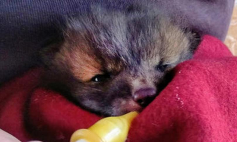 cucciolo volpe lecce