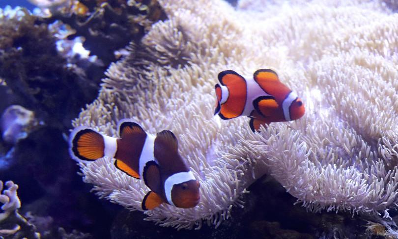 strisce pesci pagliaccio dipendono anemone
