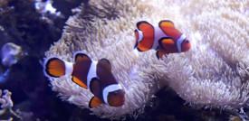 Le strisce dei pesci pagliaccio dipendono dall'anemone