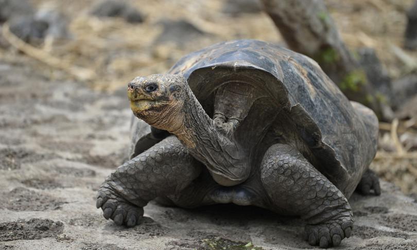 tartaruga gigante estinta sopravvive isole galapagos