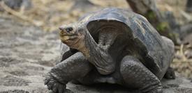 Una tartaruga gigante che si credeva estinta da 100 anni sopravvive alleGalapagos