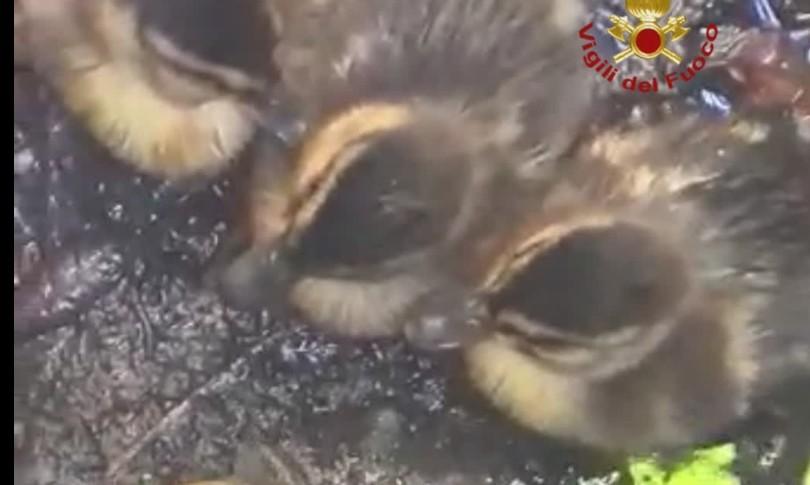 pulcini anatre imprigionati tombino vigili fuoco