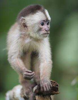 """Le scimmie cambiano accento per """"parlare"""" con le altre specie"""