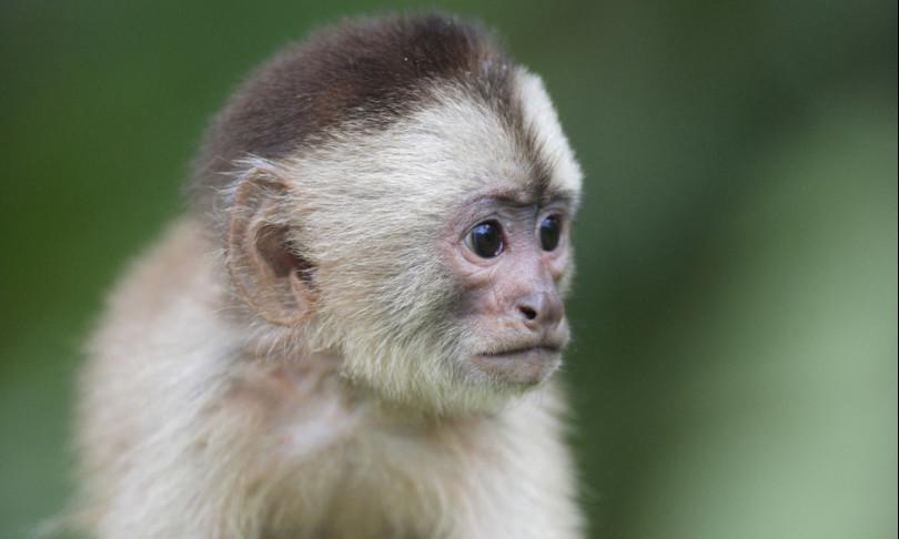 scimmie cambiano accento