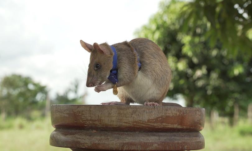 ratto gigante scova mine cambogia