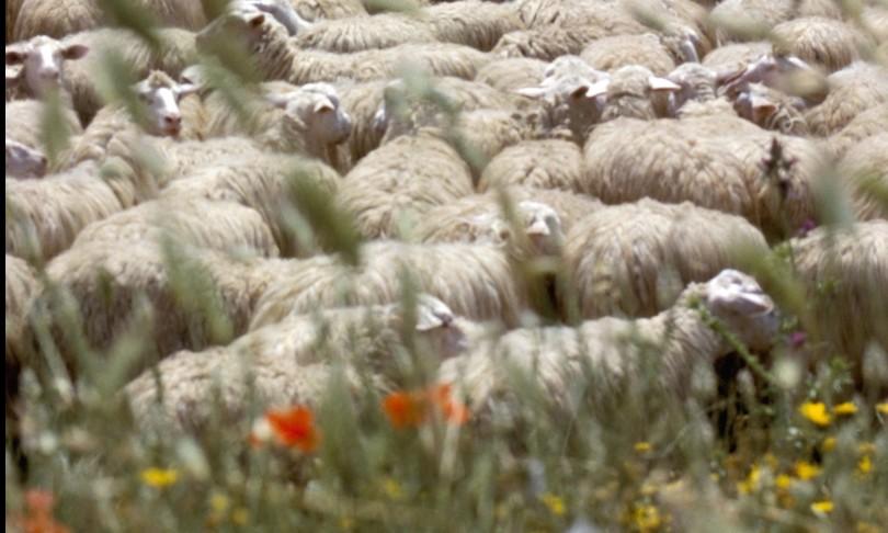 pecore capre Sardegna app latte ovino