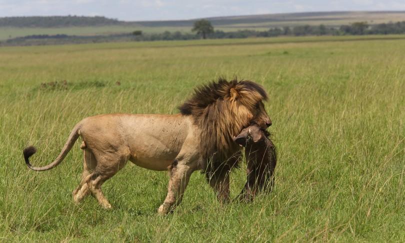 Kenya morto Scarface leggendario leone Masai Mara