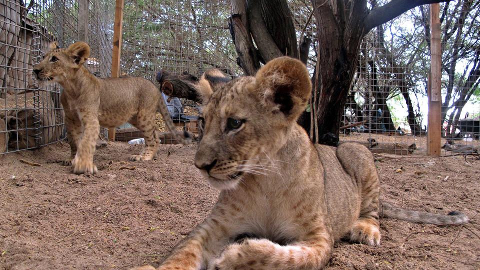 Il leone Scarface da cucciolo