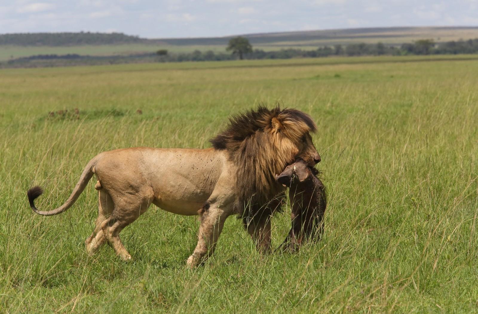 Il leone Scarface