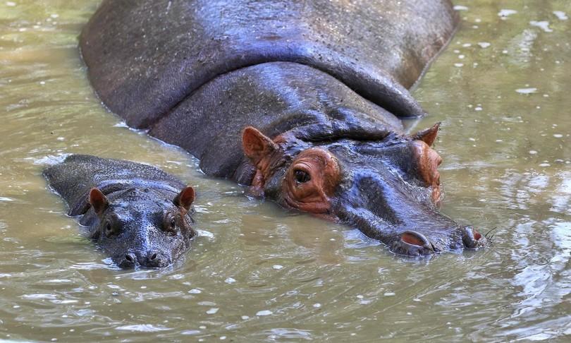 Animali ippopotama piu anziana Europa partorisce 14esimo figlio