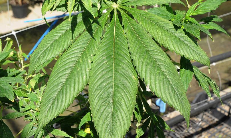 camera legge Cannabis uso personale legalizzazione
