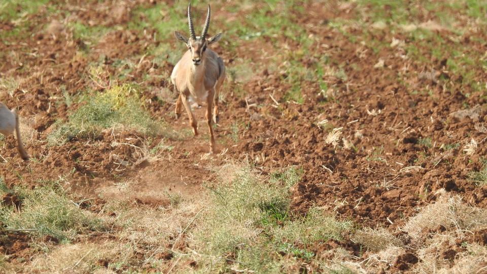 Una gazzella di montagna