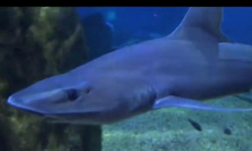 nasce squalo in acquario cala gonne si pensa a partenogenesi
