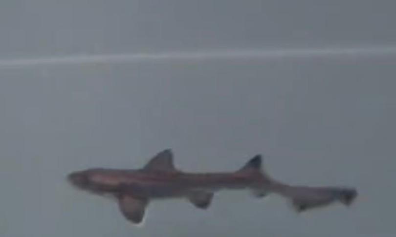 squalo palombo partenogenesi acquario cala gonone immagini