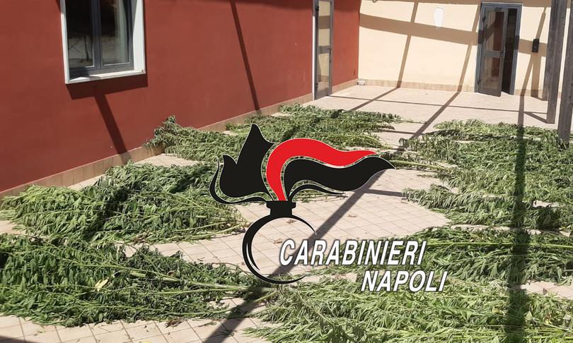 droga cannabis indica piantagioni campi mais frutteti