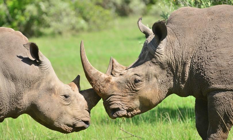 mappato albero genealogico rinoceronte
