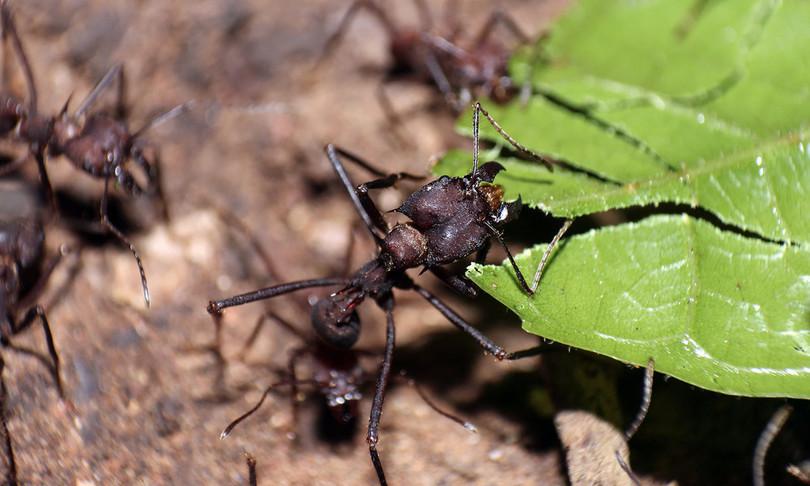 zinco segreto denti affilati formiche