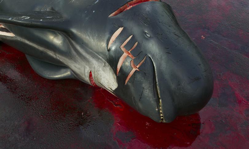 come funziona grindadrap mattanza delfini isole faroe