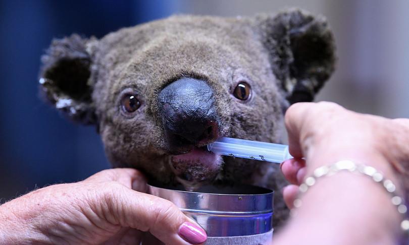 strage naturale koala australia