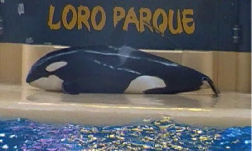 """A killer whale in captivity """"attempted suicide,"""" environmentalists say"""