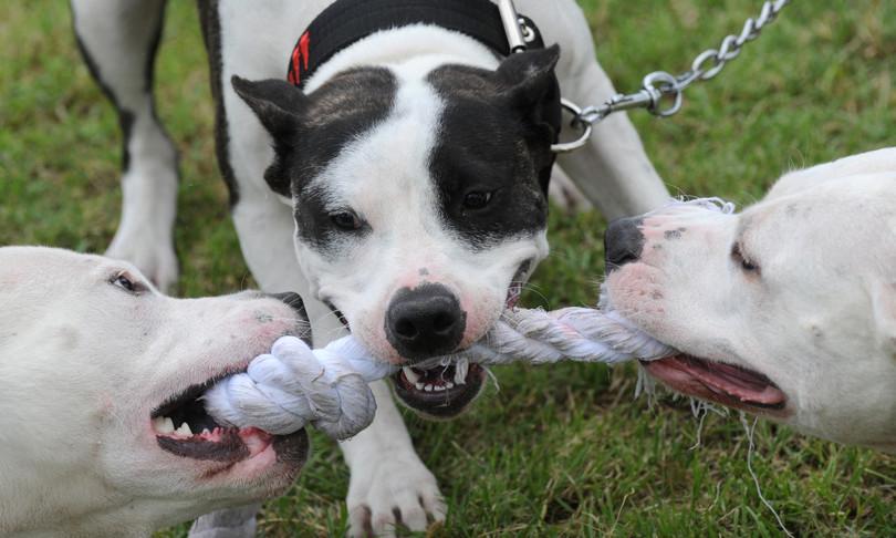 razze cani piu pericolose
