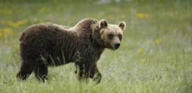 Un orso marsicano è stato investito e ucciso sull'A/25